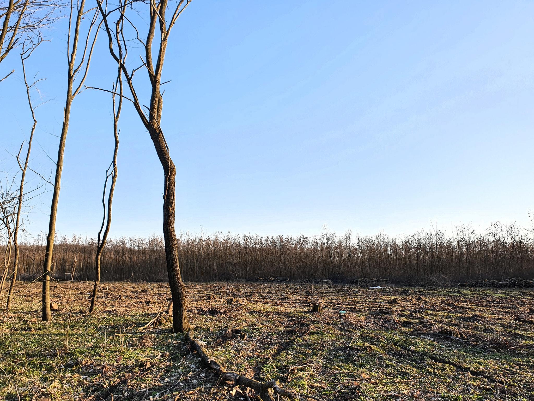Se taie la ras din Pădurea Râioasa Buftea, înainte să devină privată